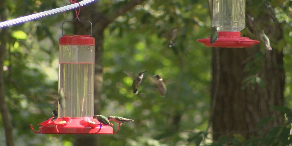 Good News: Don't be surprised to see hummingbirds in Amarillo this summer