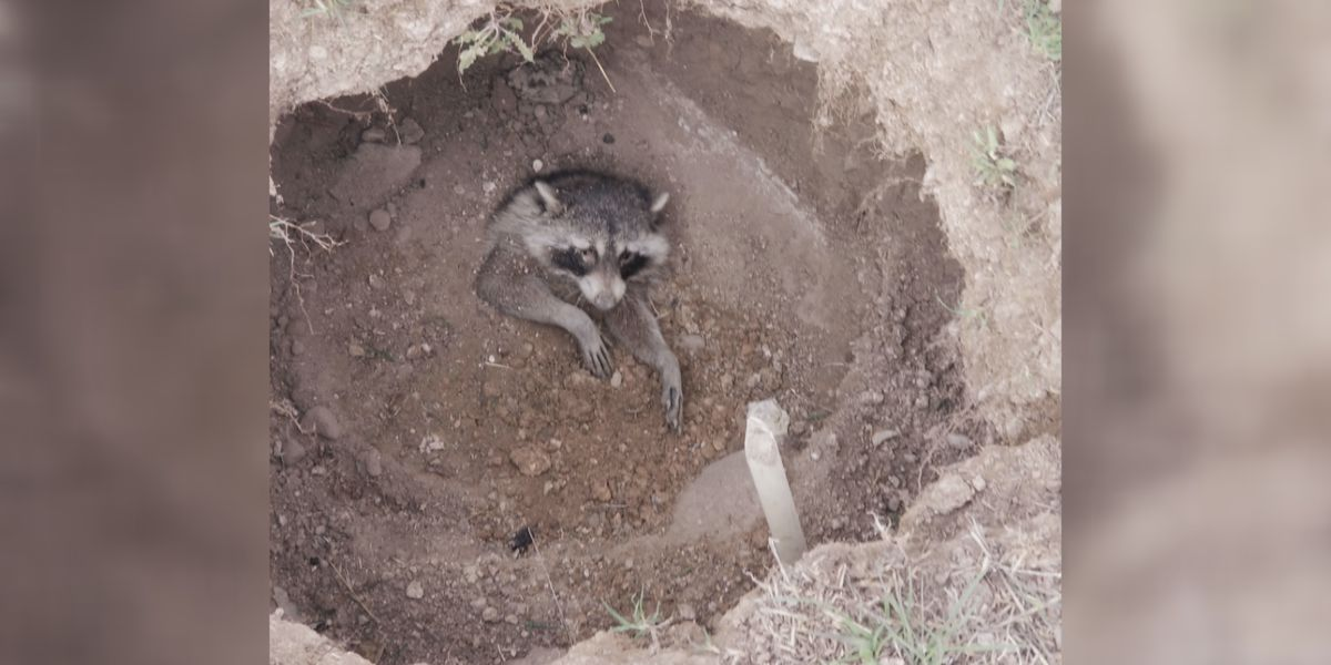 2 teen brothers save raccoon that was buried alive in South Canyon