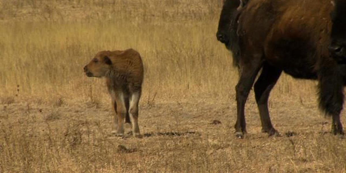 Quitaque Baby Bison