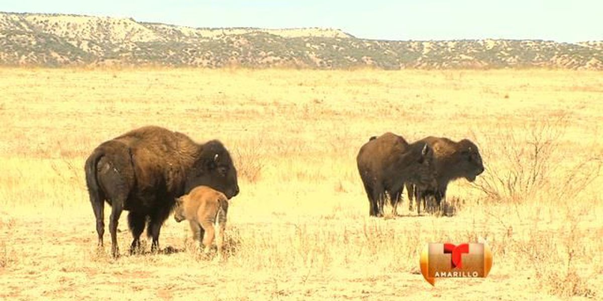 animales invaden el parque Caprock Canyons State