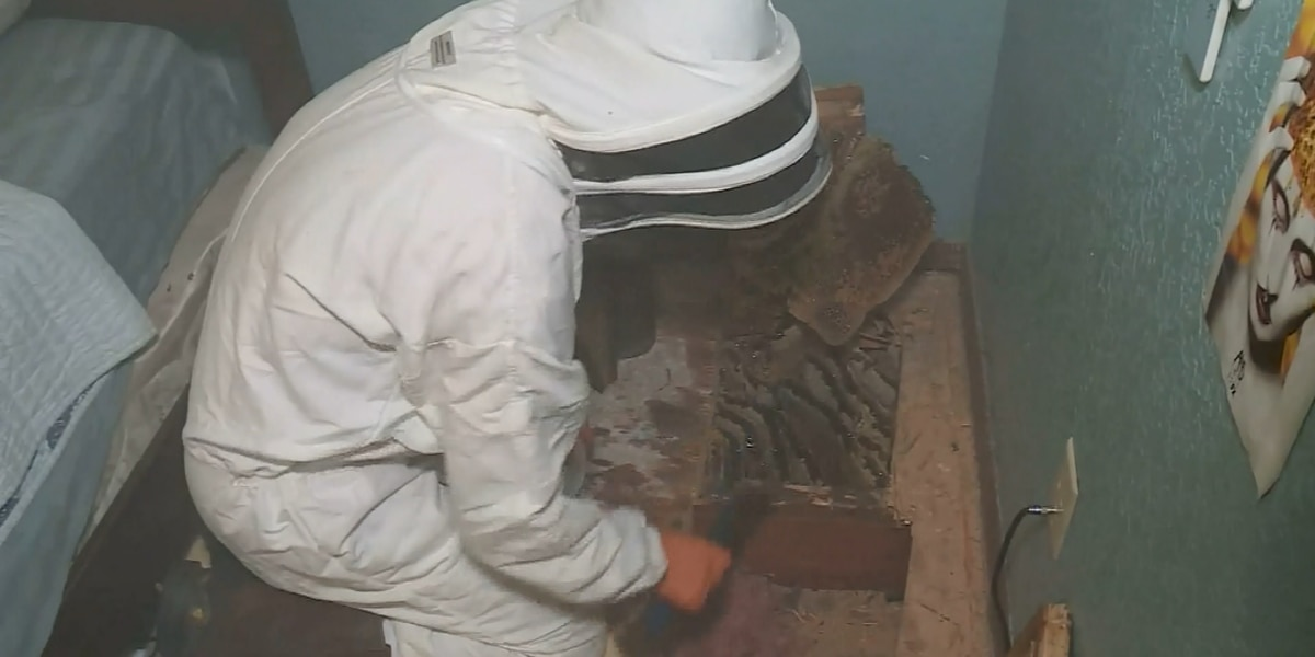 Thousands of bees safely removed from under floorboards in woman's home