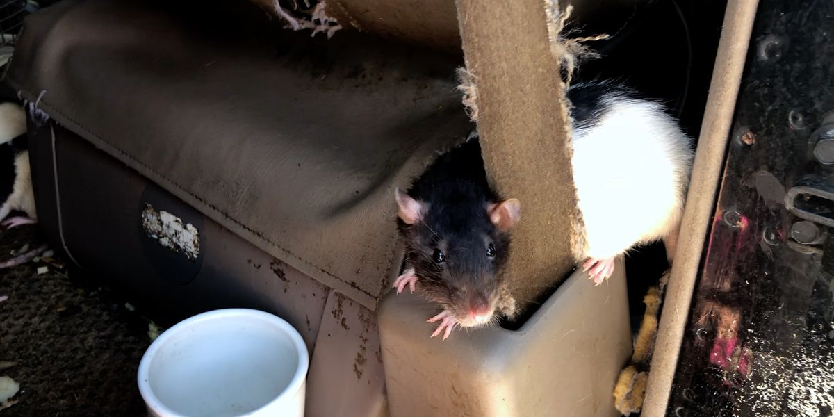 San Diego woman living in van gives up all 300 of her rats