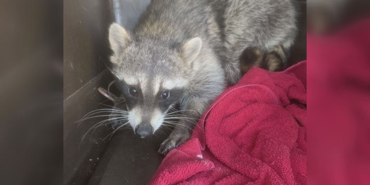 Raccoon was injured from a possible previous trap, there are different precautions to take when approaching wildlife in Texas