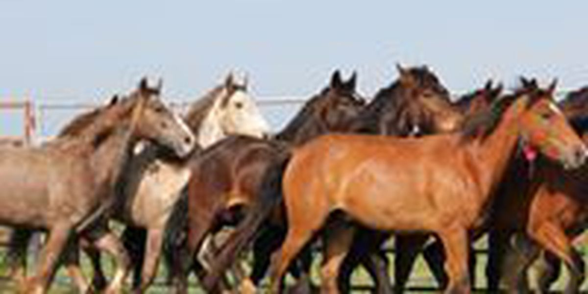 50 wild horses and burros for sale in Clovis this weekend