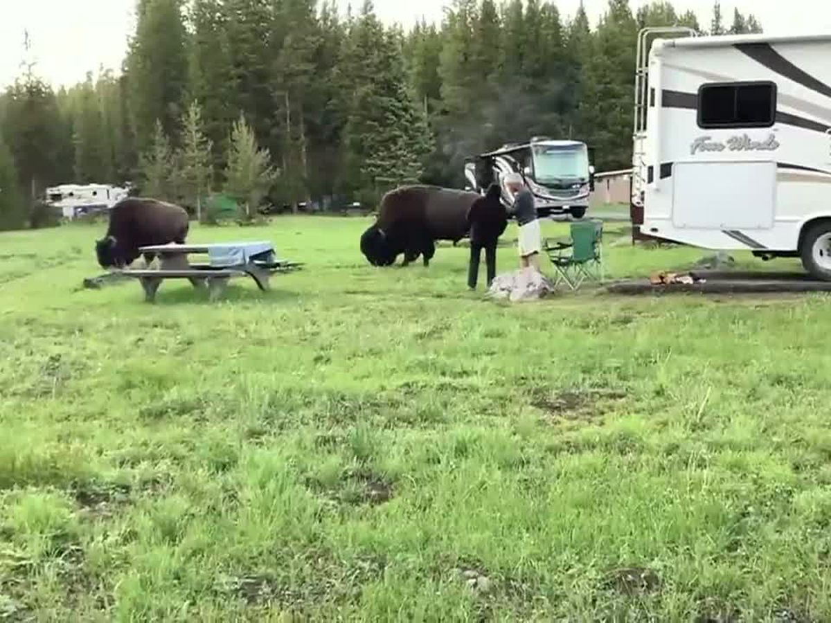 CAUGHT ON CAMERA: Provoked bison attacks woman at Yellowstone National Park