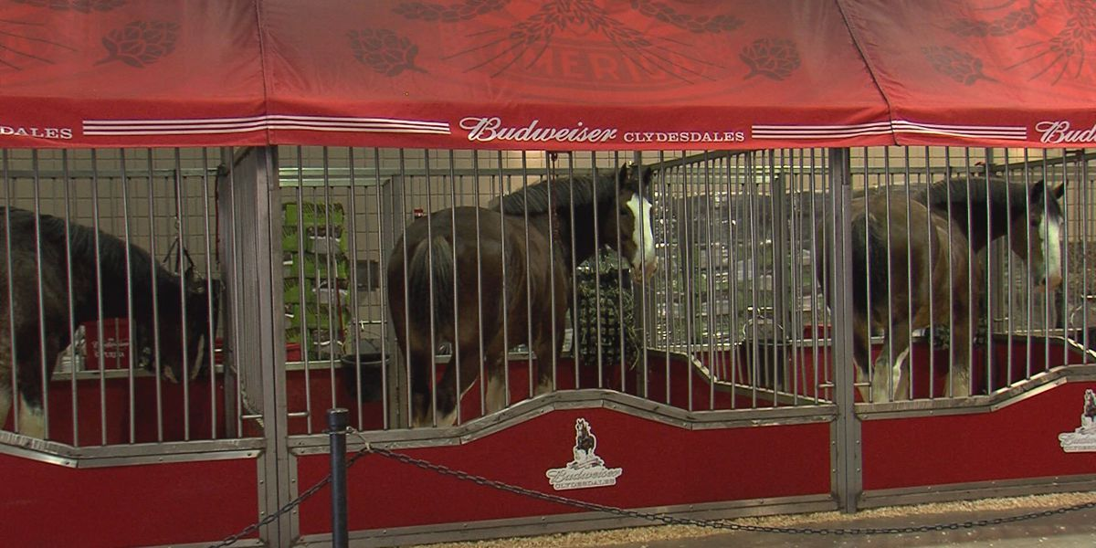 Budweiser Clydesdales in town for the World Championship Ranch Rodeo
