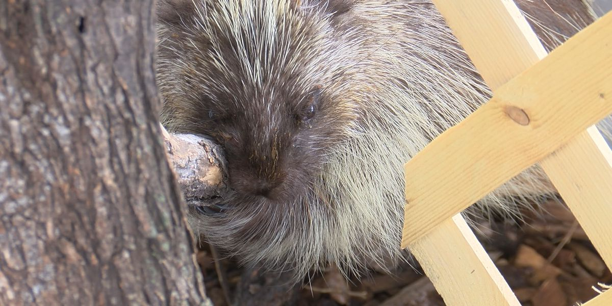 Porcupine video at Wild West Wildlife Rehabilitation Center reaches millions