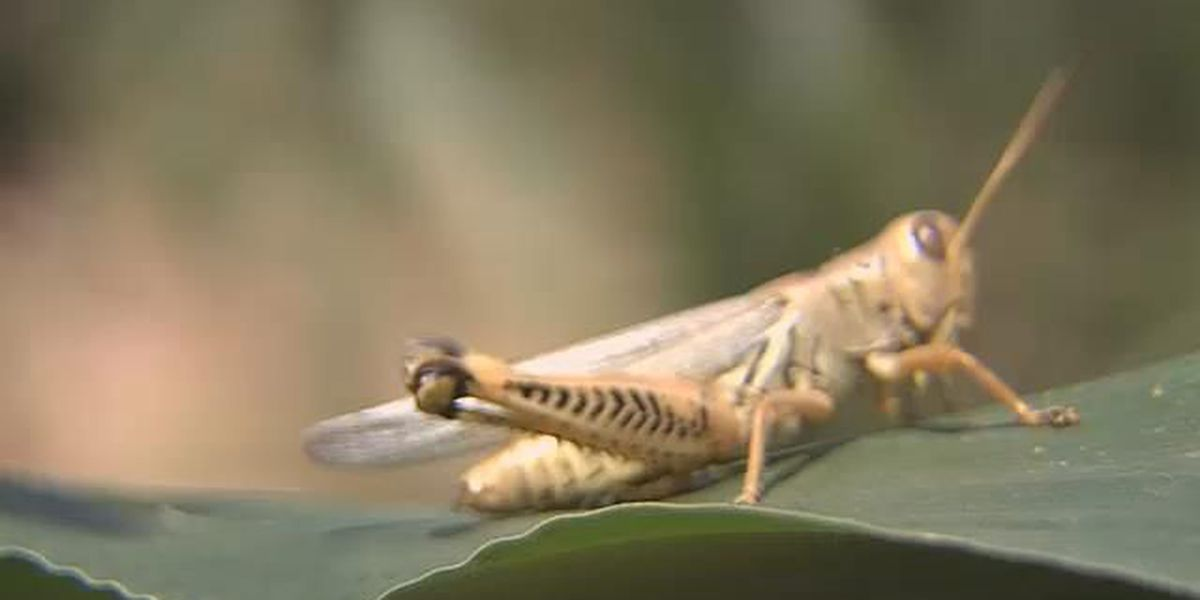 Panhandle grasshopper numbers increase