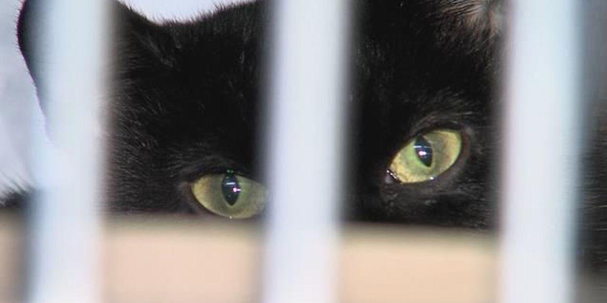 October's black cat adoption ban
