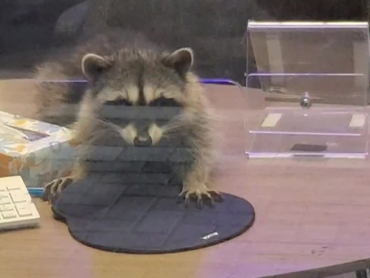 Furry bandits strike: Raccoons break into Calif. bank