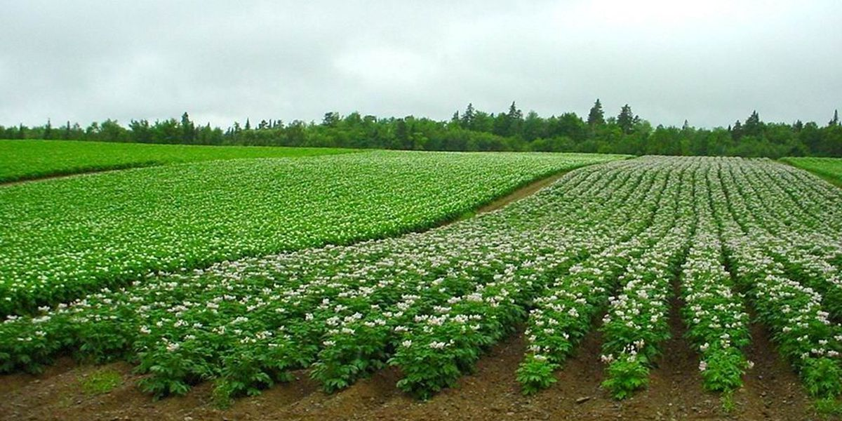Potato breeding and development will be focus on the High Plains