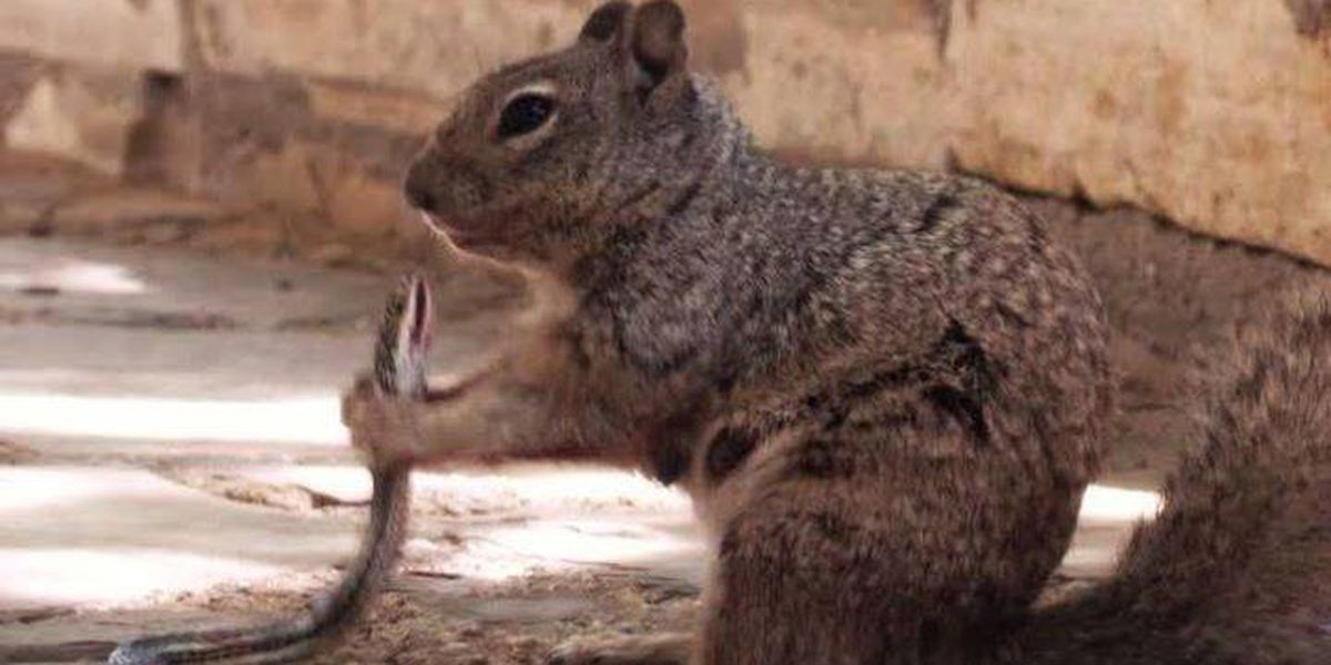 Photo shows squirrel devouring snake at Texas park