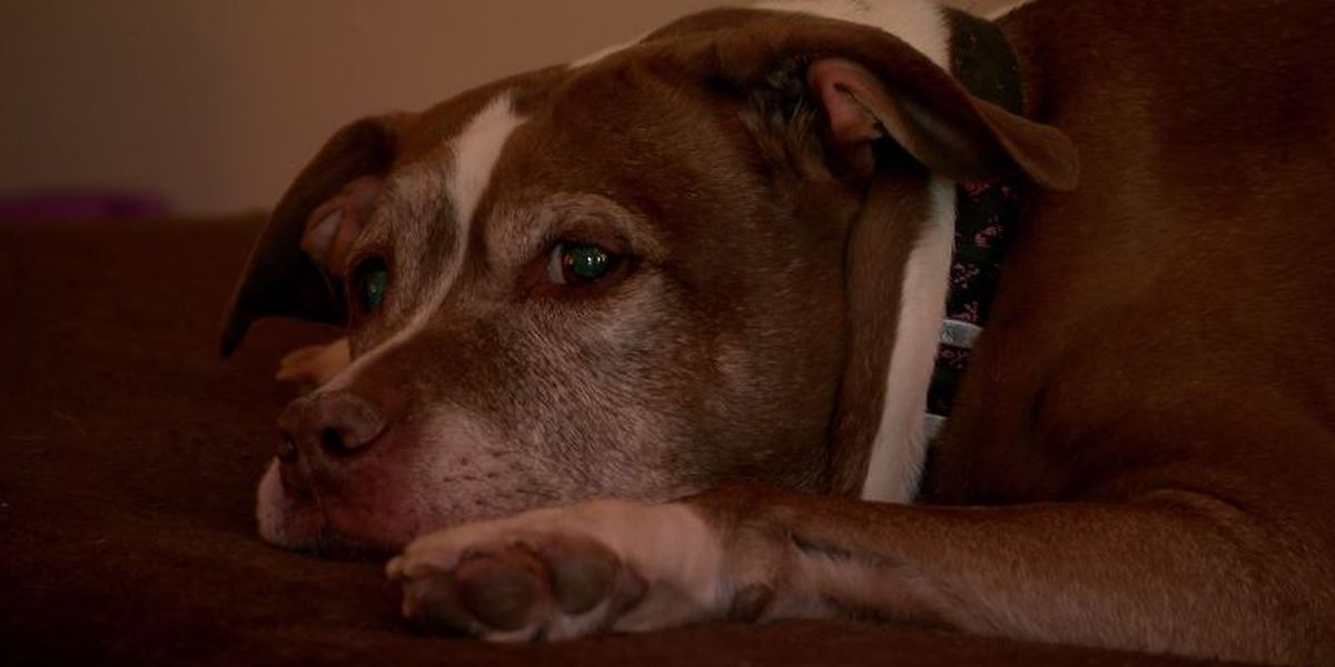 Pit bull escapes home, leads police back to save owner from gas leak