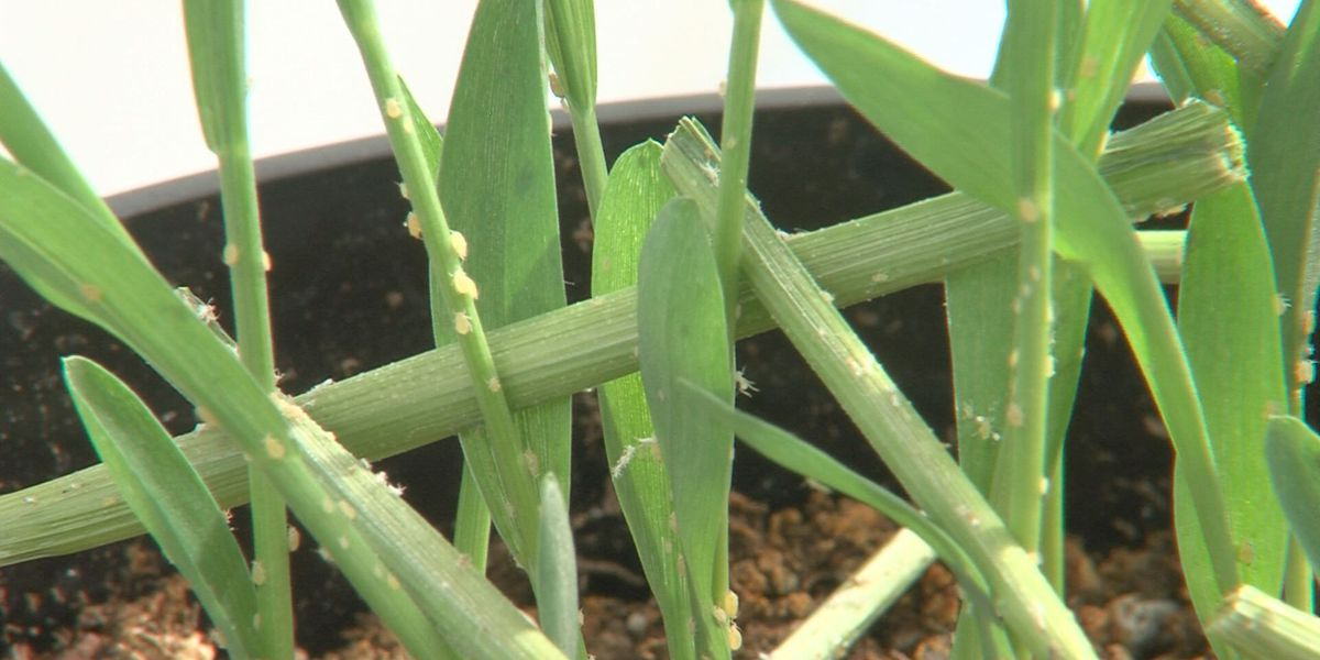 AgriLife research could help area producers fight invasive aphid