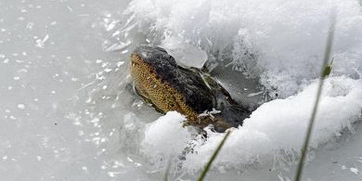 Oklahoma alligators frozen in water with snouts sticking out