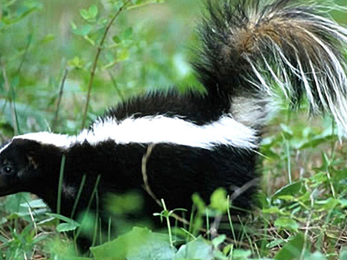 Dead skunk found in Gray County tests positive for rabies