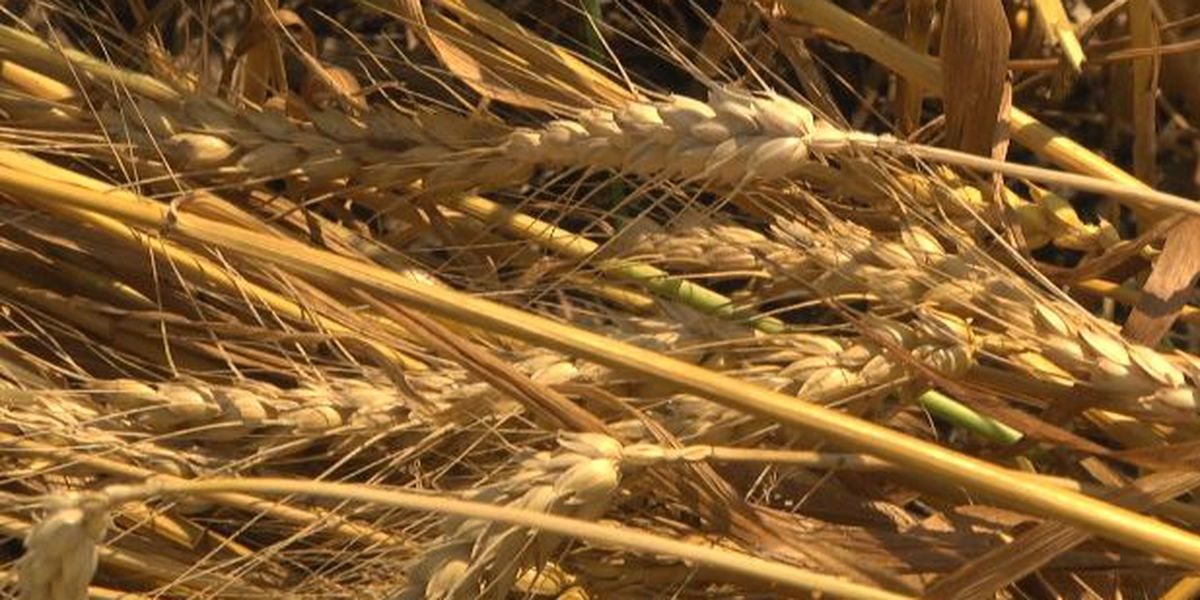 Amarillo area wheat farmers hopeful for better growing season