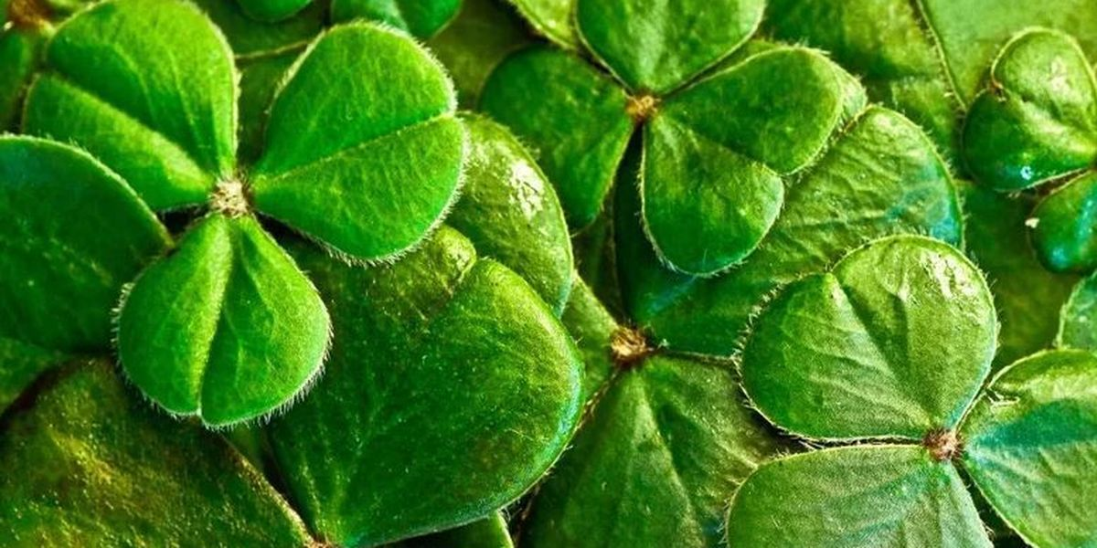 Shamrock cancels annual Saint Patrick's Celebration due to COVID-19 cases, hospitalization rate