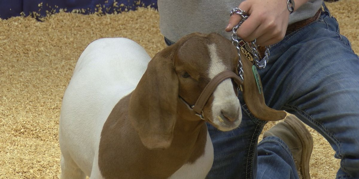 Youth livestock show continues even though Tri-state fair and rodeo was canceled