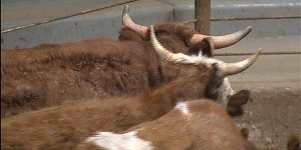 FDA to study antibiotic use in livestock