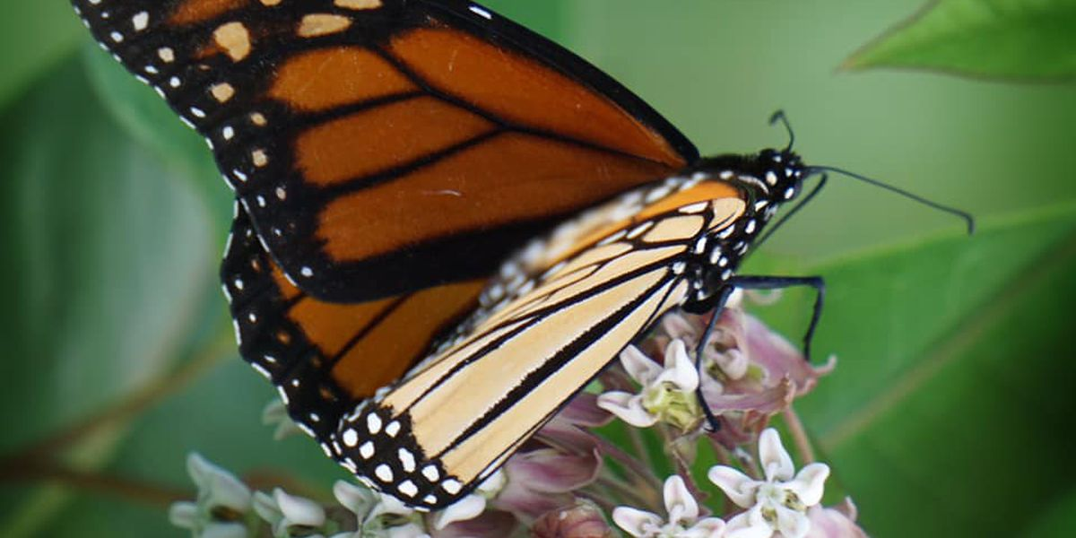 Hundreds of butterflies to be released Saturday to remember loved ones lost