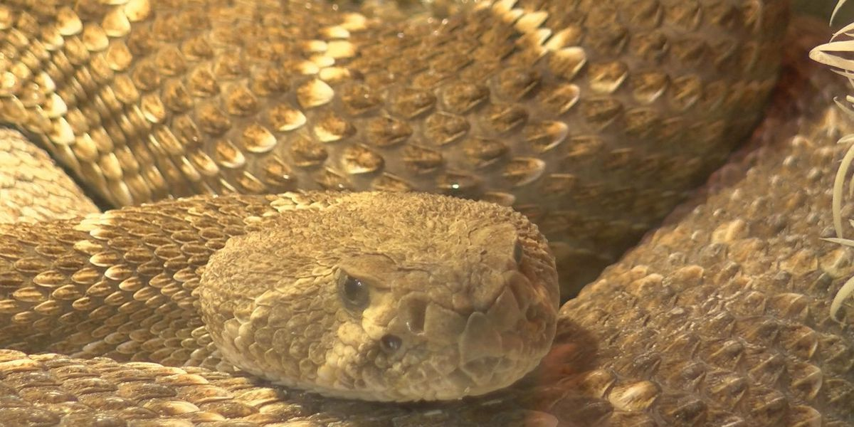 How the dry winter is impacting rattlesnakes in the Panhandle