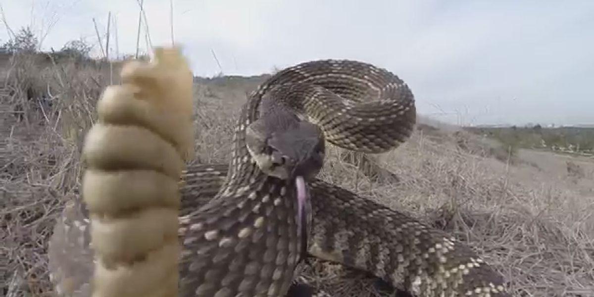 Veterinarians warn about increased rattlesnake bites