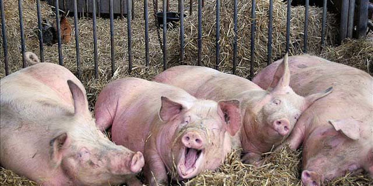 'I just like pigs': Cops say nude man found drinking in barn