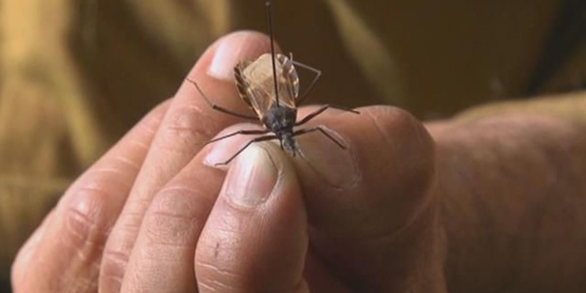 Travelers asked to use caution with kissing bugs