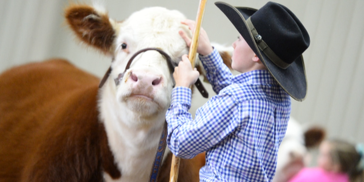 Meadow middle schooler shows Grand Champion Steer at Fort Worth Stock Show; Wins $300,000