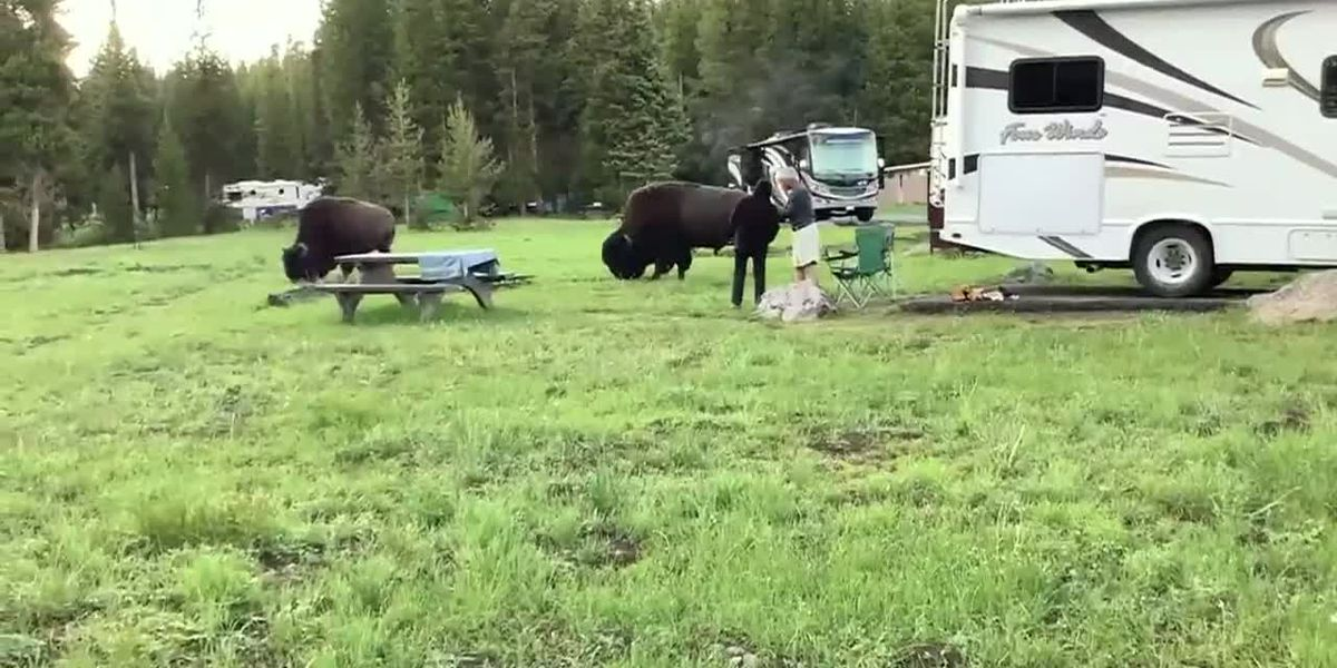 Family witnesses bison charge at woman in Yellowstone National Park