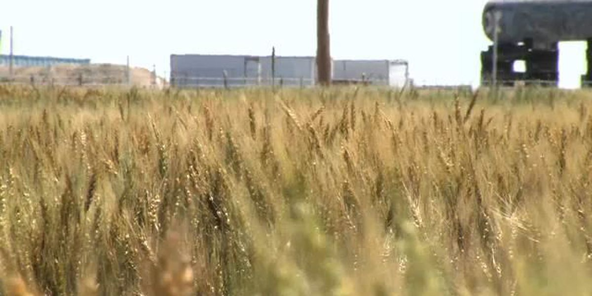 Area researchers claim to find resistant to wheat virus