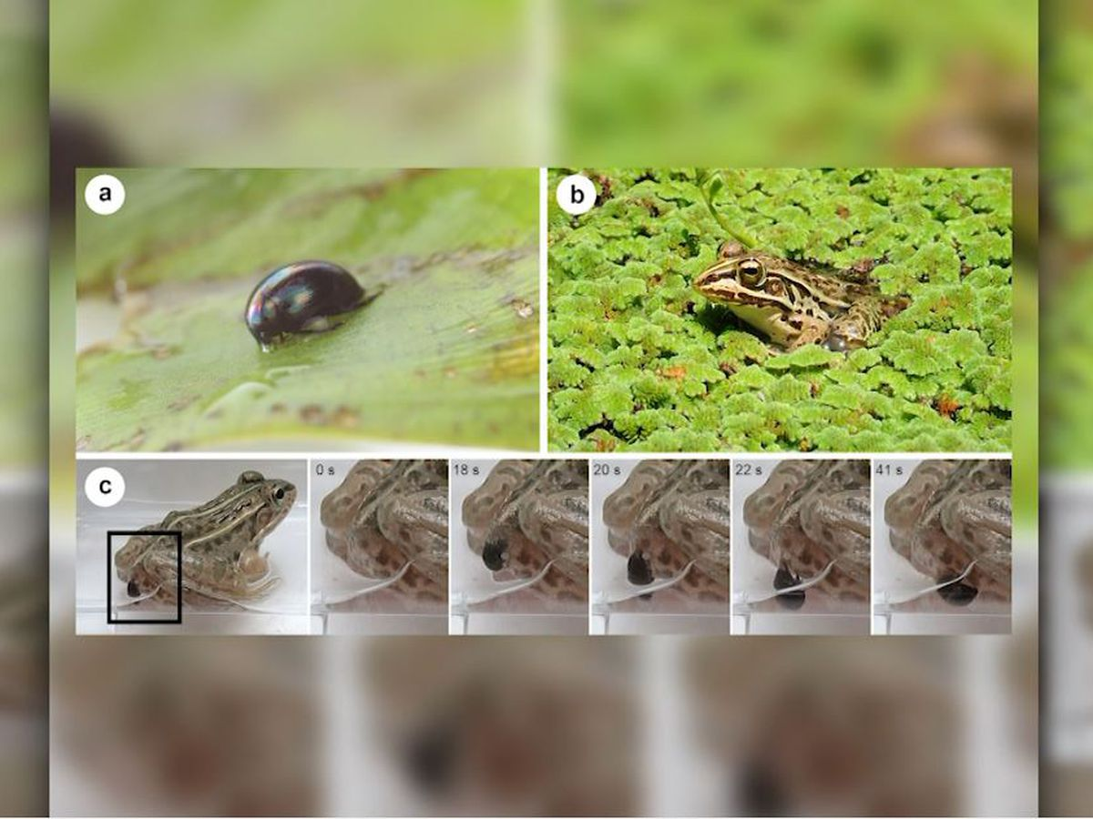 Water beetles stage 'back door' escape from predators