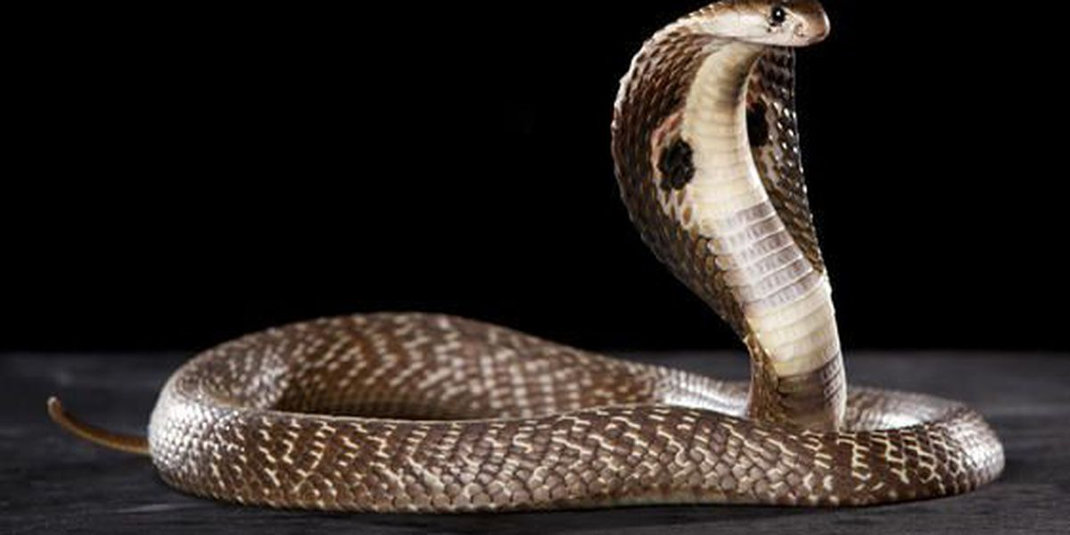 Hallan serpiente cobra en edificio de Houston