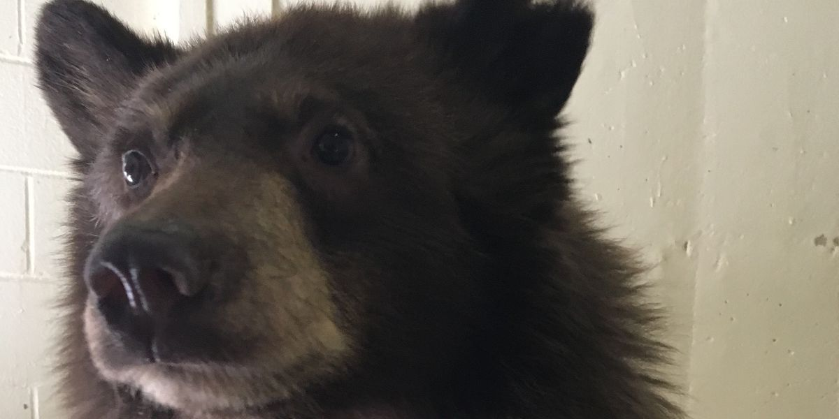 Amarillo Zoo gives bear cub 'new life', saves from euthanasia after multiple captures in New Mexico