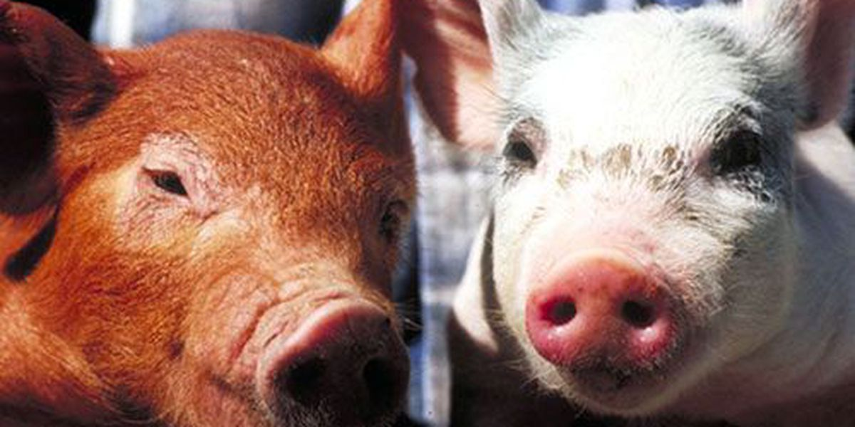 US bacon prices rise after virus kills baby pigs