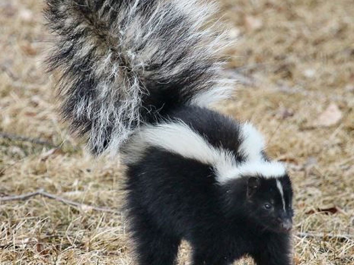 Positive skunk rabies case in Borger causes 180 day pet quarantine