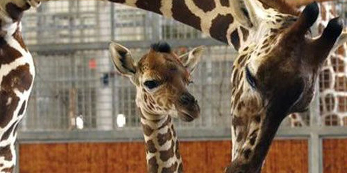 Baby giraffe dies at Dallas Zoo in accident