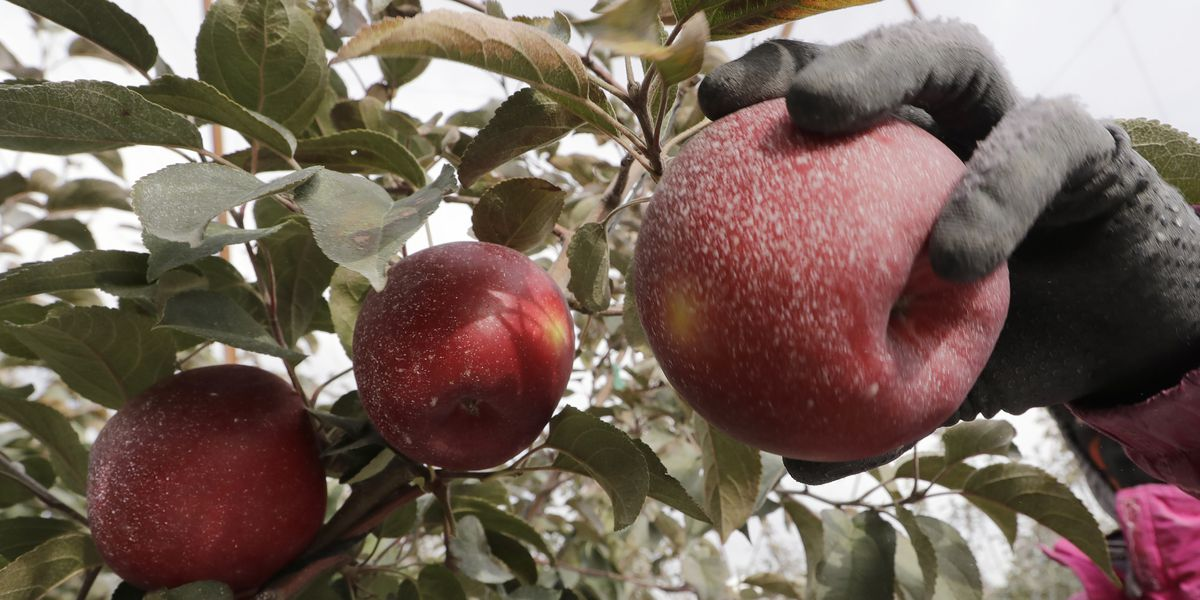 Move over, Honeycrisp: New apple to debut at grocery stores