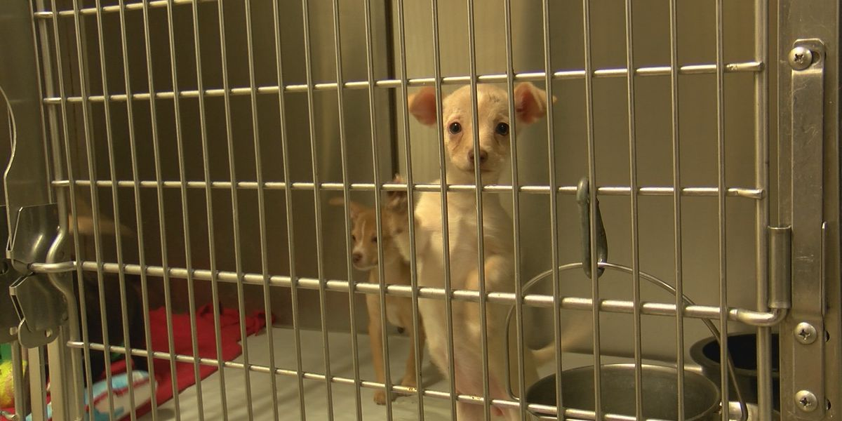 Increase of pets brought to Amarillo animal shelters, decrease of pets being adopted