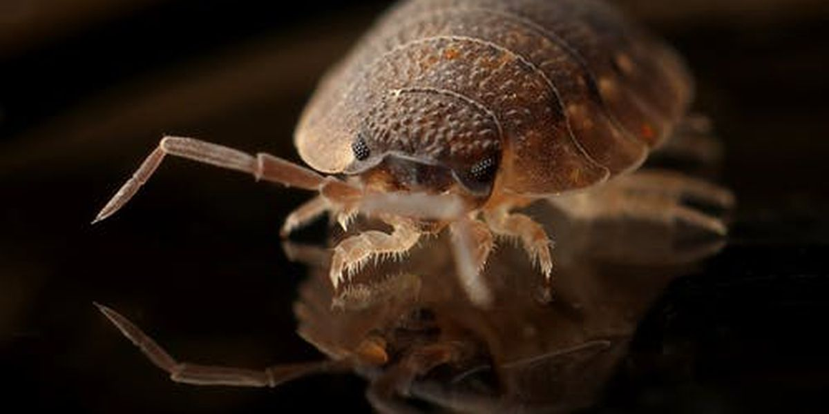 Amarillo pest experts see spike in bed bug cases