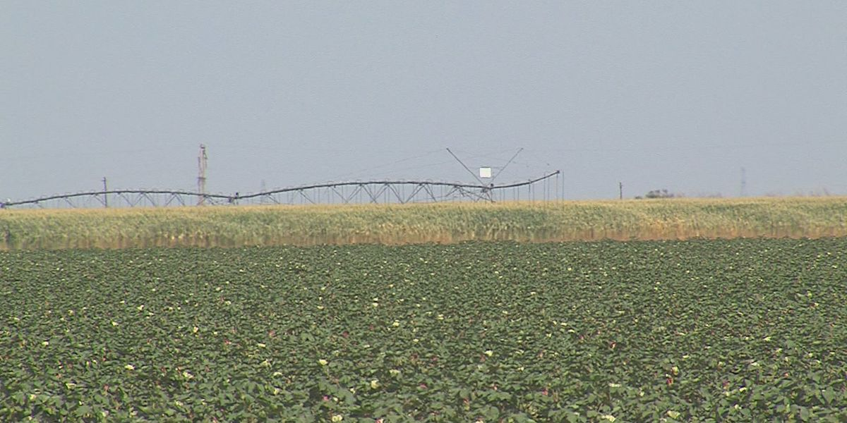 Local farmers: Cotton crop devastated by rainfall